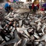 Cathay Pacific contro l'inutile strage di pescecani