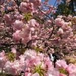 Reportage Tokyo: il robot Gundam fra i fiori di ciliegio