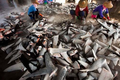 Pinne di pescecane tagliate. Fotografia per gentile concessione Paul Hilton, Pew Environment Group