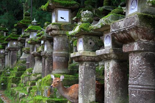 Daino sacro che spunta fra le lanterne, nel parco del tempio shintoista Kasuga a Nara. Foto di Elena Bianco