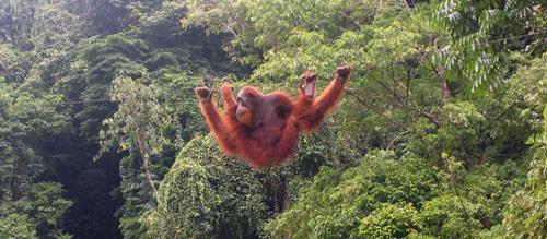 orangutan-di-bukit-lawang-taman-nasional-gunung-leuser-small
